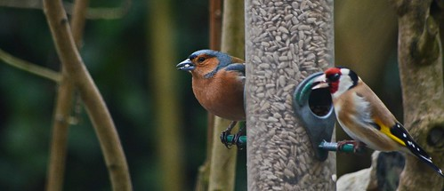 Chaffinch by birbee