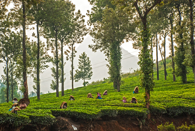 Tea picking, Wayanad