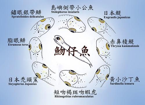 吻仔魚主由鯷科鯡科仔稚魚組成-Chia-Wen Wong