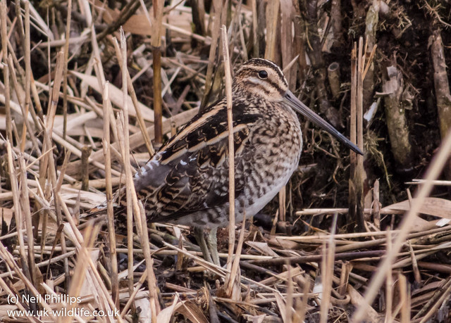 snipe photographed at 1700mm equivalent (slight crop on that too!) on pentax q