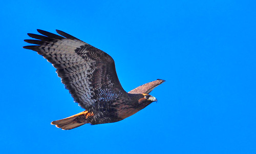 california bird nature birds flying inflight lakeside raptor southerncalifornia birdofprey buteojamaicensis redtailhawk lakejennings