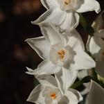 Paperwhites (Narcissus papyraceus) - 4