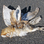 Barn Owl roadkill