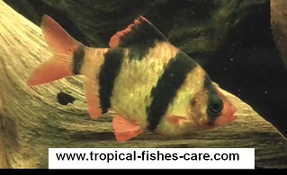 tiger barb care