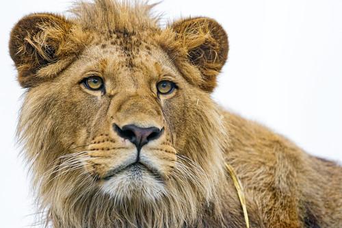 [フリー画像素材] 動物 (哺乳類), ライオン ID:201302151000