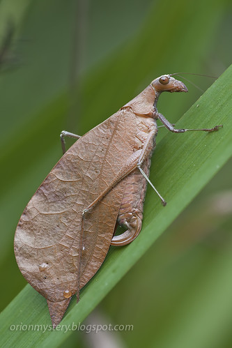 Leaf mimic katydid Leptoderes ornatipennis IMG_6653 copy