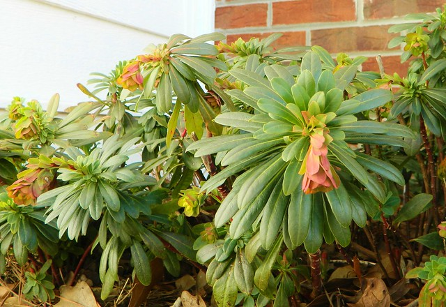 euphorbia plant in spring