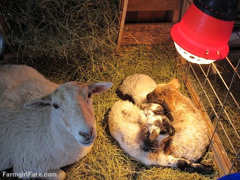 Friendly and her three day old triplets - FarmgirlFare.com