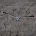 Short Eared Owl by jkwidds