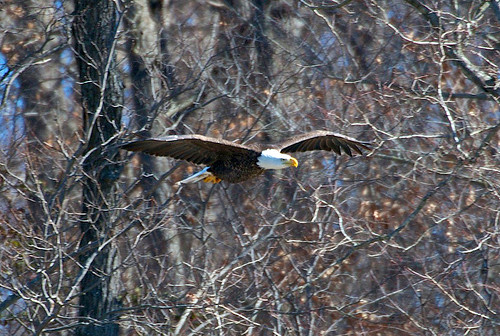 An eagle in flight is sighted during a recent guided boat tour offered by Land Between The Lakes. (Photo courtesy Dick Lee)