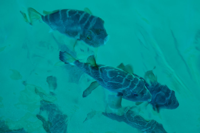 Galapagos fish: Bullseye Puffer