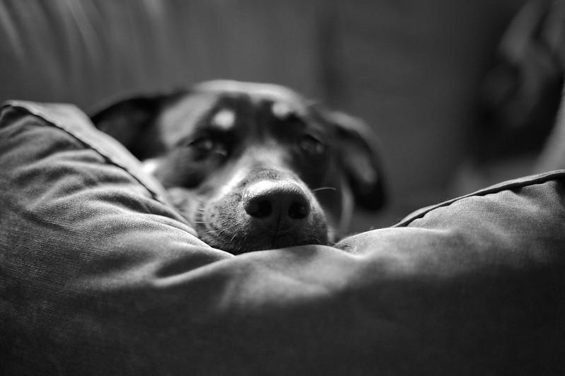 lounge dog