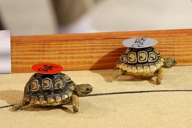 Baby Tortoise Races
