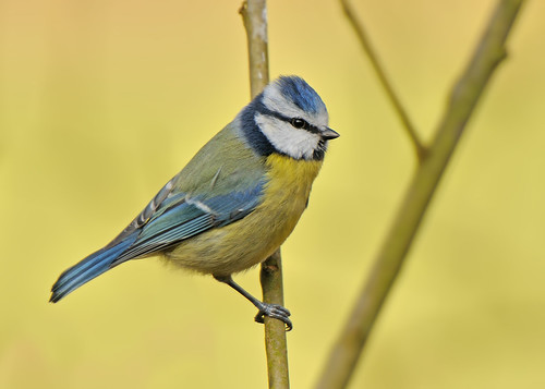 Bluetit by Andy Pritchard - Barrowford