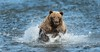 Brown Bear Runs Down a Salmon by Glatz Nature Photography