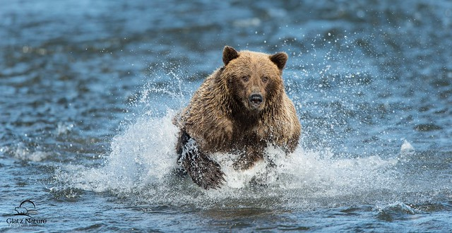 Brown Bear Runs Down a Salmon