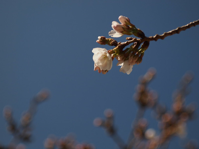 Sakura in Kobe, just started blooming.