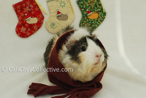 Guinea pig Poof waits by her Santa Cavy Christmas stocking