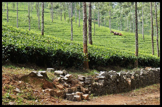 Valparai - Deer running through tea bushes!