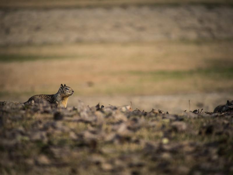 Fisher Ground Squirrel