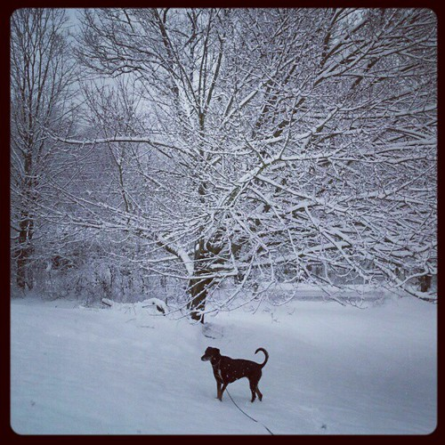 It's snowing! #dogstagram #newengland #winter #snow #trees #dobermanmix #adoptdontshop #rescue