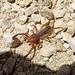 Small photo of Camel spider Solifugae . Gluvia dorsalis
