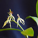 Small photo of Encyclia (Prosthechea) cochleata