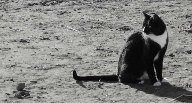 Farm Cat1