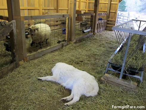 Lambing season begins! (10) - FarmgirlFare.com