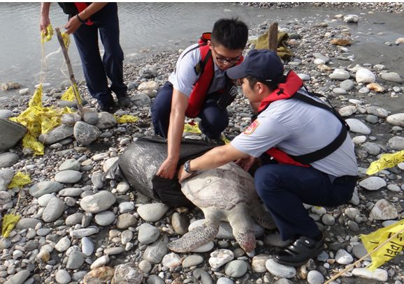 若遇到海龜可以先當下通報海巡請求協助;攝影:林佳樺