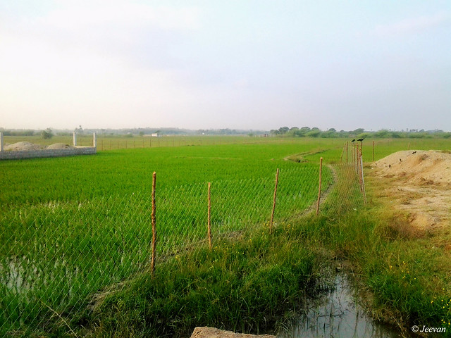 Fenced paddy field
