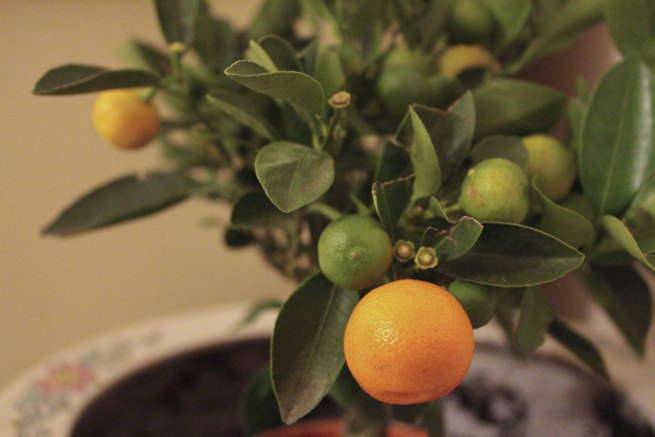 Mini Mandarin tree