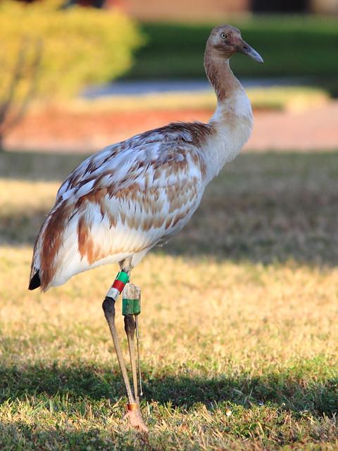 Whooping Crane 15 3-20130205