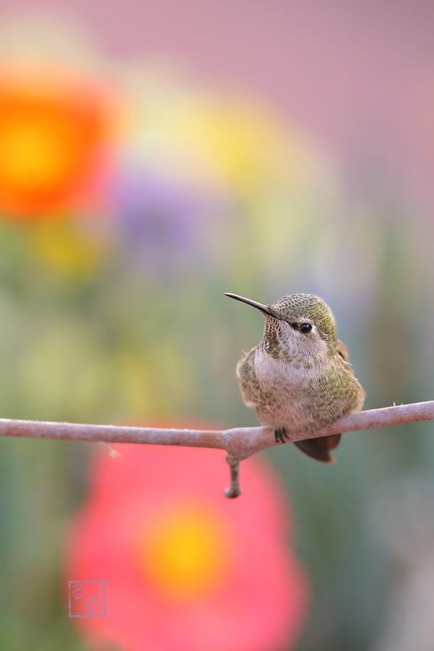 Anna's Hummingbird 020613