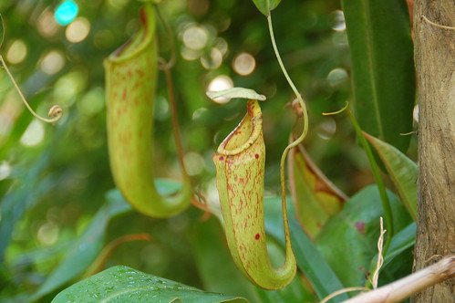 Pitcher plants Borneo