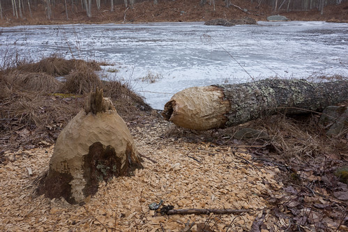 Newly felled tree