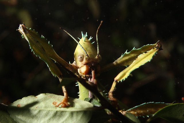 Giant Spiny Leaf Insect | Flickr - Photo Sharing!