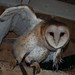 Shaver's Creek - Barn Owl