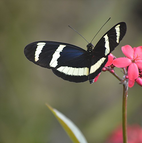 Open winged Heliconius hewitsoni hangs on to pink flowers by jungle mama