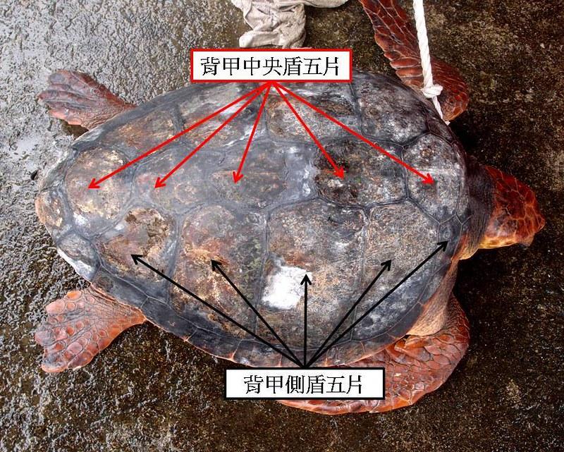 赤蠵龜背甲盾片
