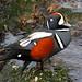 Harlequin Duck (Steve Byland)