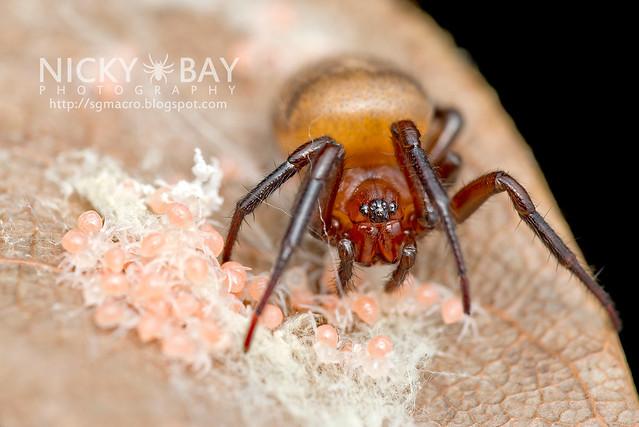 Scarlet Acusilas Spider (Acusilas coccineus) - DSC_6555
