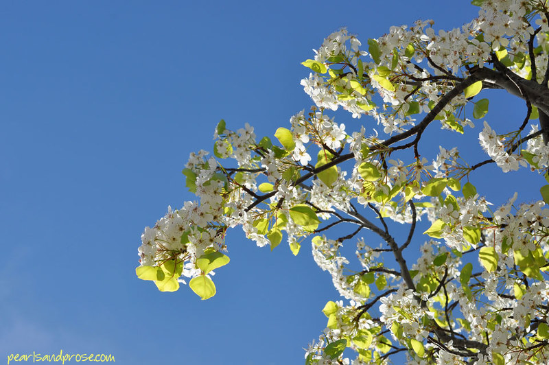 pear_blossoms_sky_web