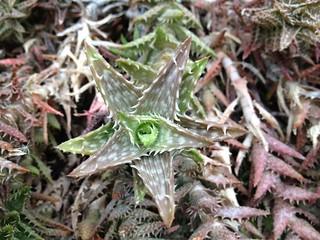 Krohn Cactus 1