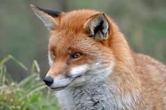 Smiling fox 2