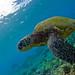 green sea turtle by bluewavechris