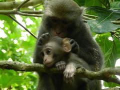 過去人們提到台灣獼猴,都認為聰明可愛,是甚麼改變了這個印象呢?(圖片來源:壽山國家自然公園籌備處)