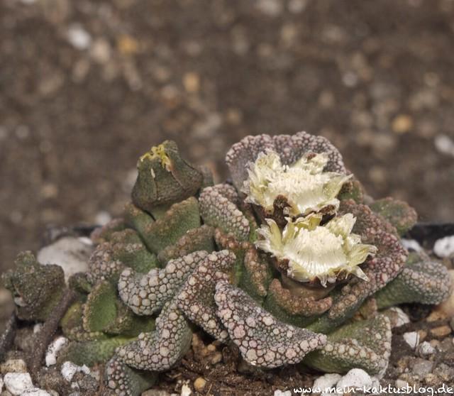 Titanopsis calcarea 001