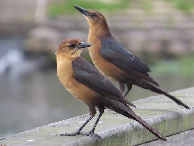 female Boat-tailed Grackles