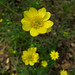 California Buttercup - Photo (c) Josh*m, some rights reserved (CC BY-NC-SA)